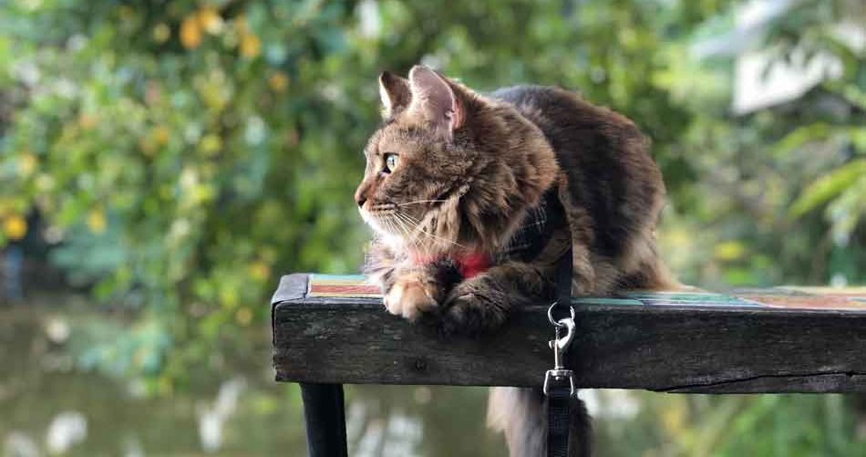 Alita the maine coon outside on a handrail