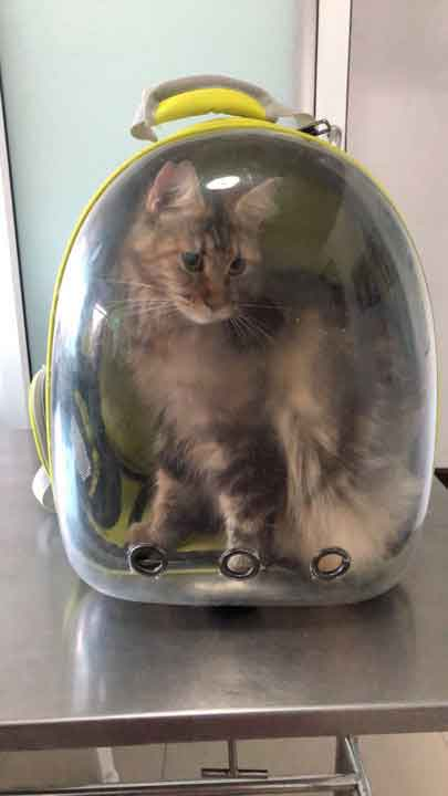 Alita the Maine Coon in a Pet Carrier