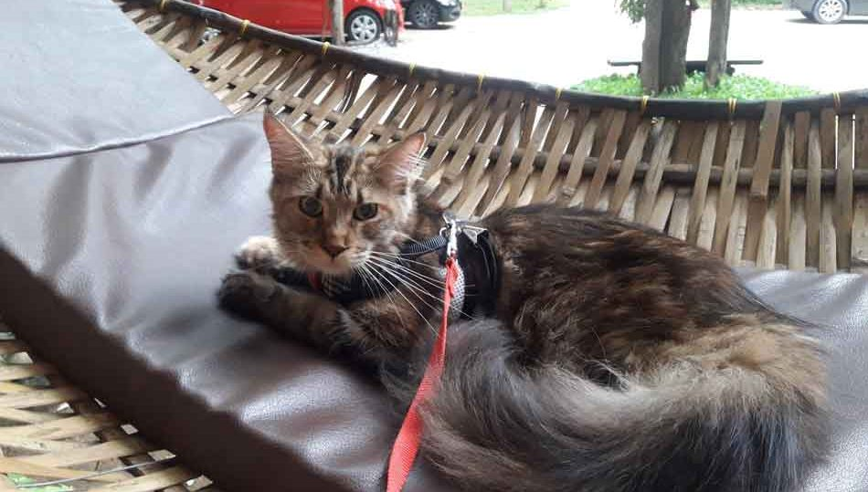 Alita the Maine Coon on a hammock