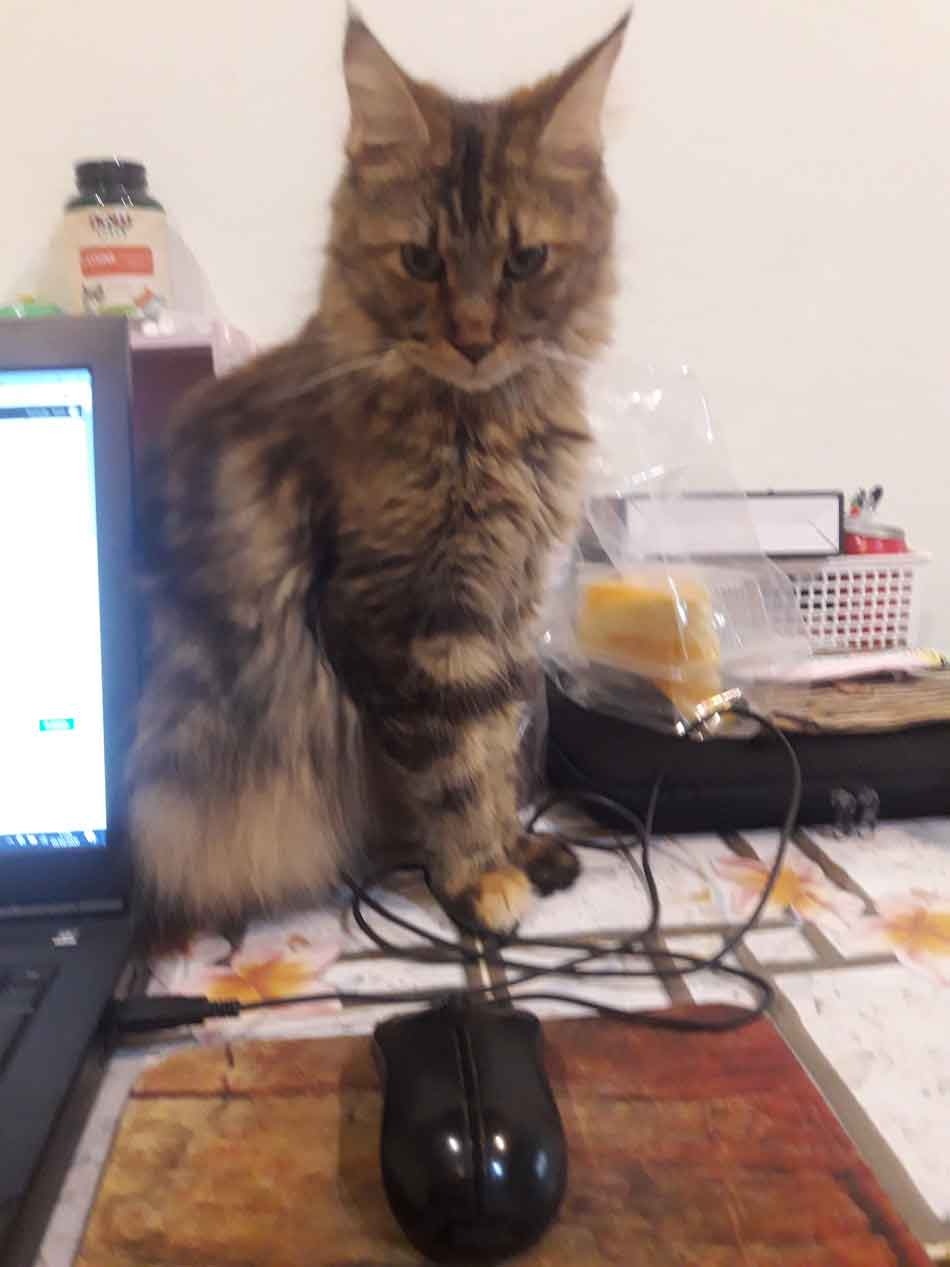 Alita the Maine Coon on the table