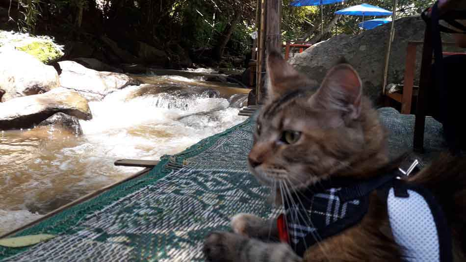 Alita the Maine Coon watching river