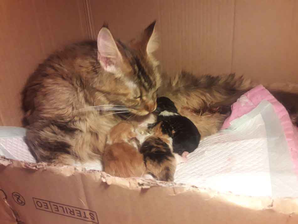 Alita with Maine Coon kittens