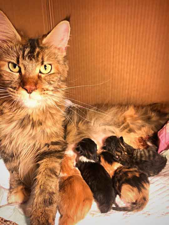 Alita after giving birth to Maine Coon litter