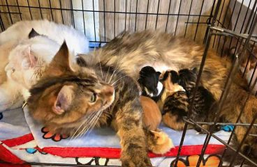 What To Do When A Maine Coon Gives Birth