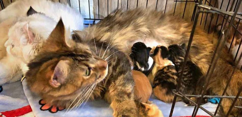 Alita the Maine Coon with 4 kittens