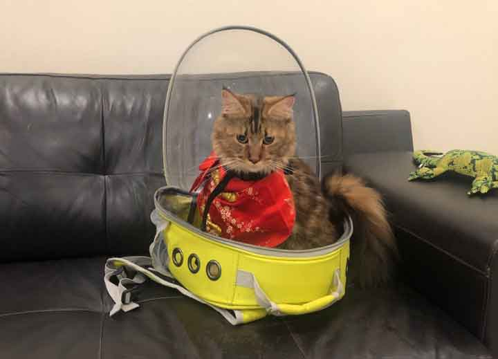 Maine Coon in cat backpack