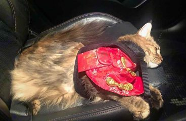 Do Maine Coons Travel Well?