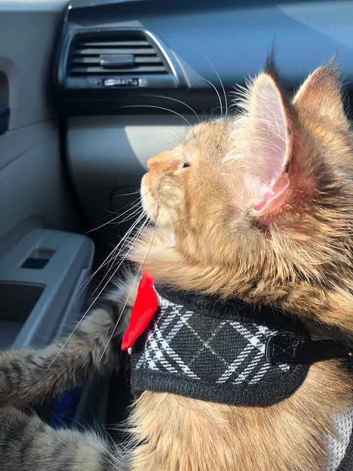 Alita the Maine Coon in Car front seat