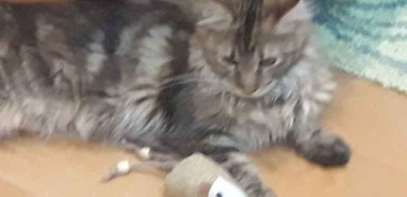 Alita the Maince Coon playing with toy mouse