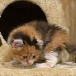 4 Week Old Maine Coon Kittens - What You Need To Know