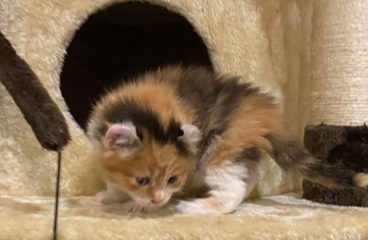 4 Week Old Maine Coon Kittens – What You Need To Know