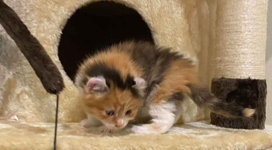 4 week old Maine Coon kitten exploring