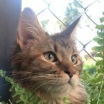 The Personality Of The Maine Coon Cat