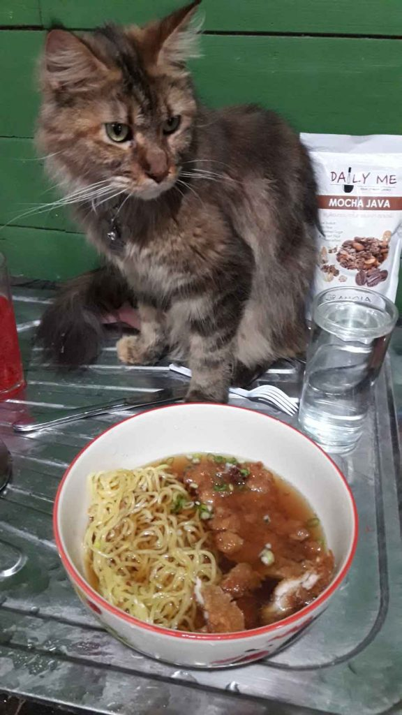 alita the maine coon interested in food