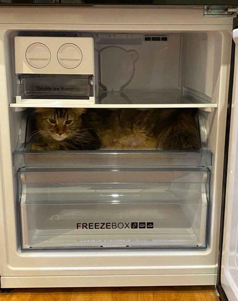 alita the maine coon in a fridge