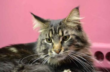 Can A Maine Coon Be An Indoor Cat?