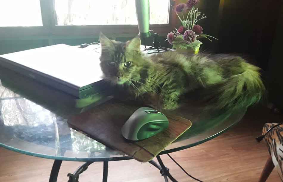 Alita the Maine Coon awake near laptop