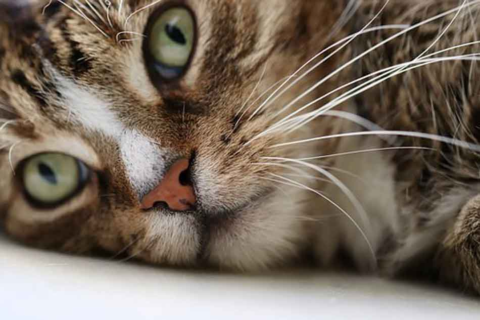 a tabby maine coon looking ill close up