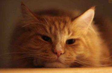 Common Maine Coon Cat Allergies