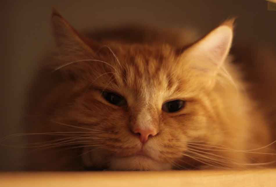 a ginger maine coon looking ill close up