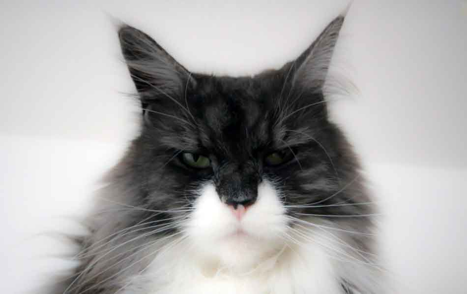 a maine coon looking ill close up