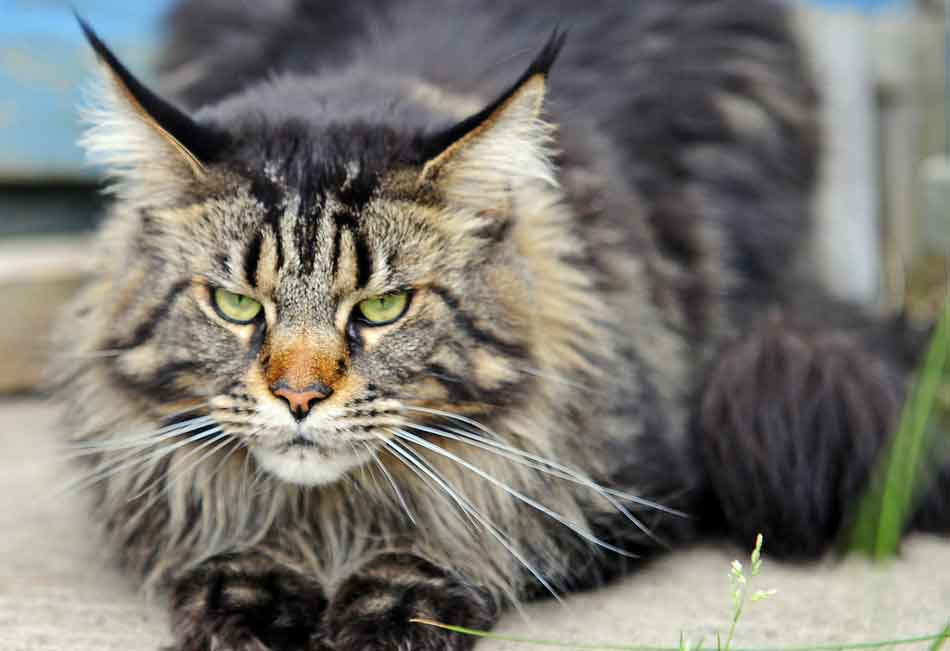 a maine coon looking ill
