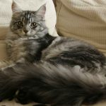 Can A Maine Coon Cat Be Left Alone?
