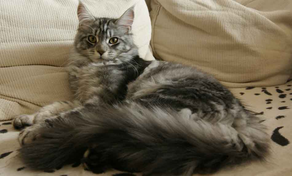 a single maine coon cat alone at home