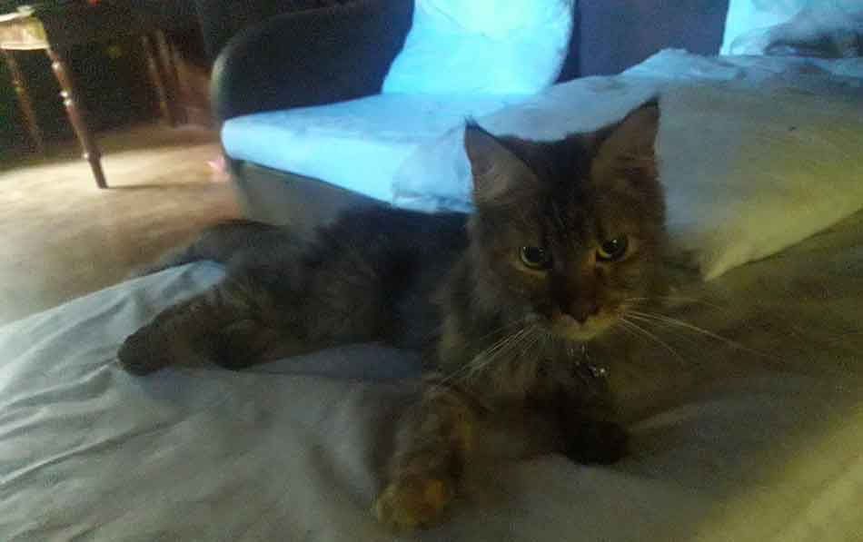 Alita the Maine Coon on the couch
