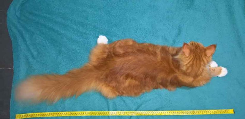 a maine coon next to tape leasure