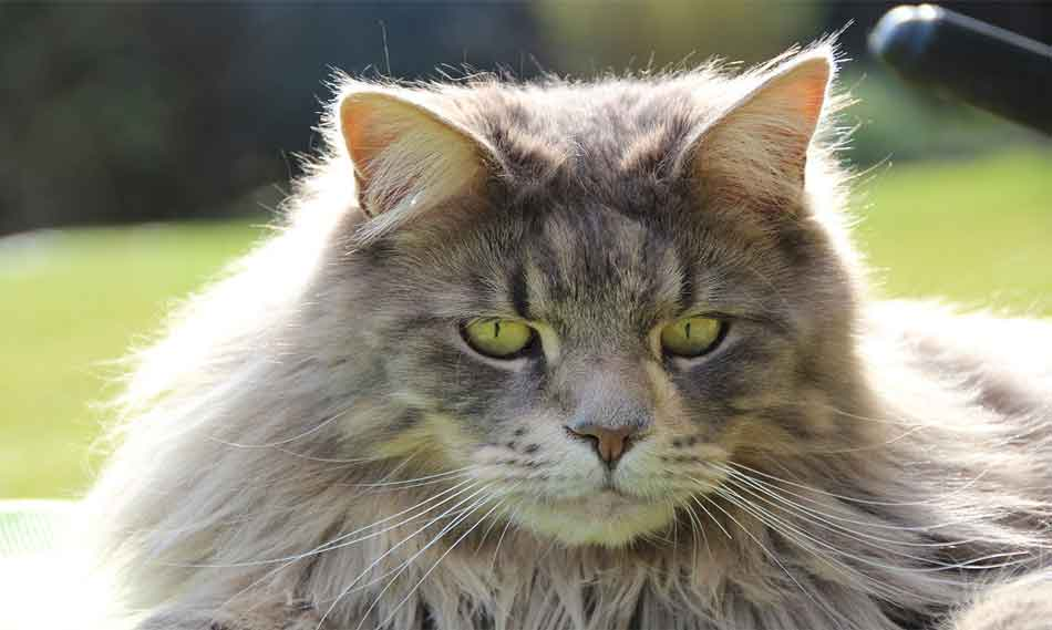 a large maine coon face