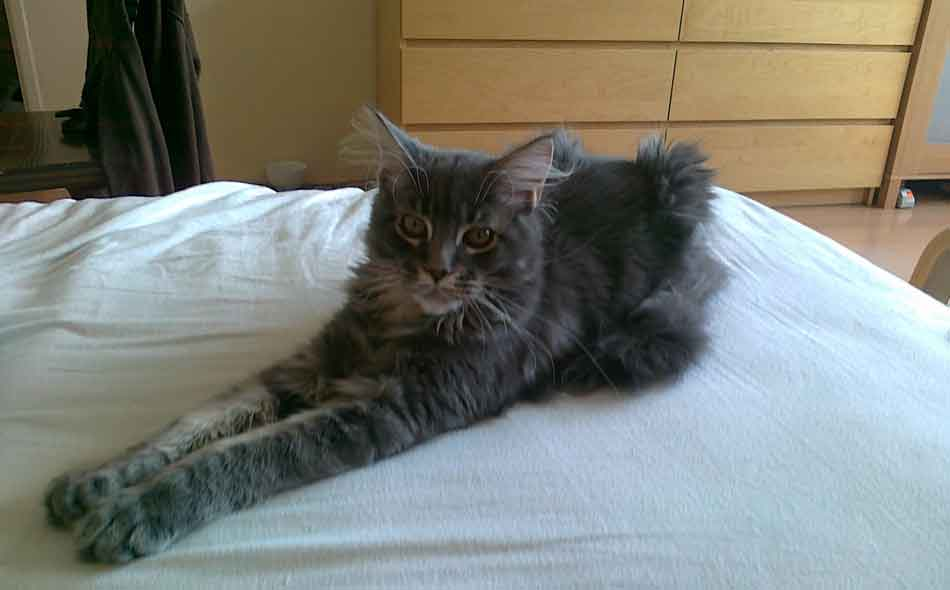 a large maine coon on the bed