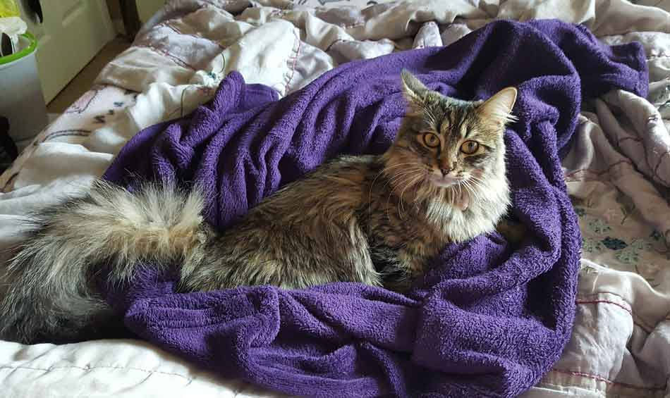 a maine coon on a dressing gown
