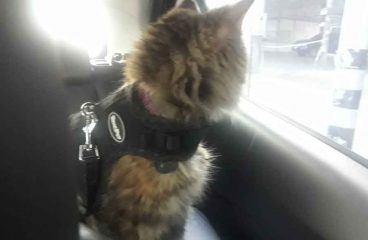 Can A Maine Coon Suffer From Motion Sickness (What to Do)