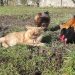Will A Maine Coon Kill Chickens?