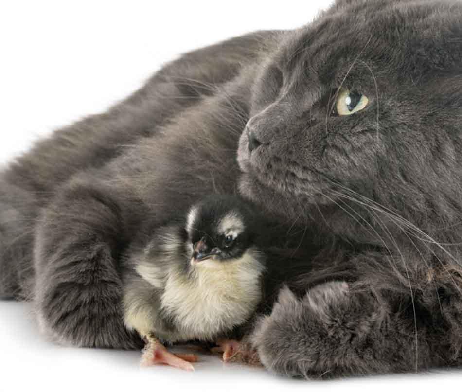 a maine coon cuddling a baby chicken