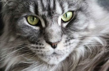 How Many Cups Of Food Should A Maine Coon Eat