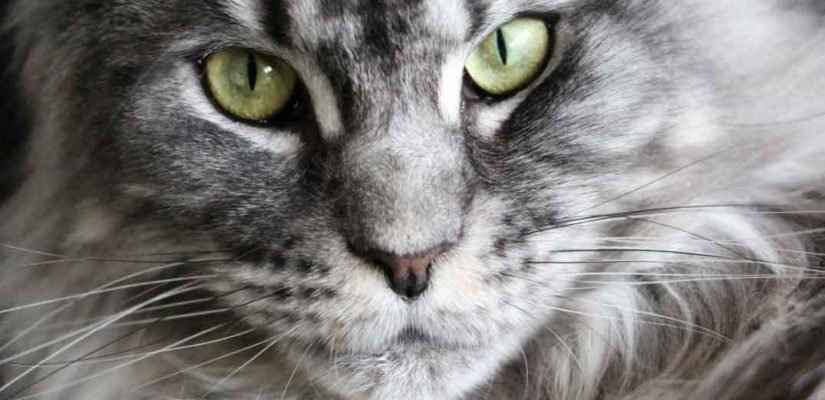 a close up of a maine coon