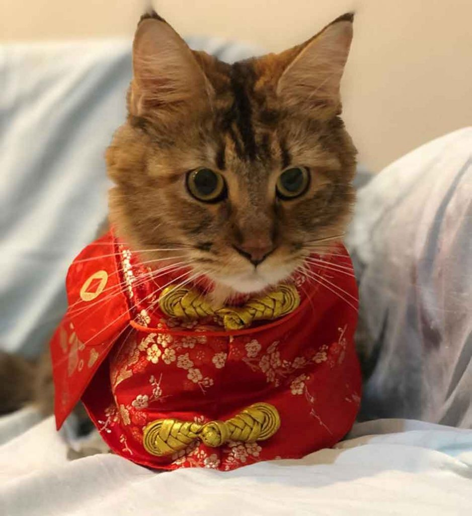 Alita the Maine Coon dressed up