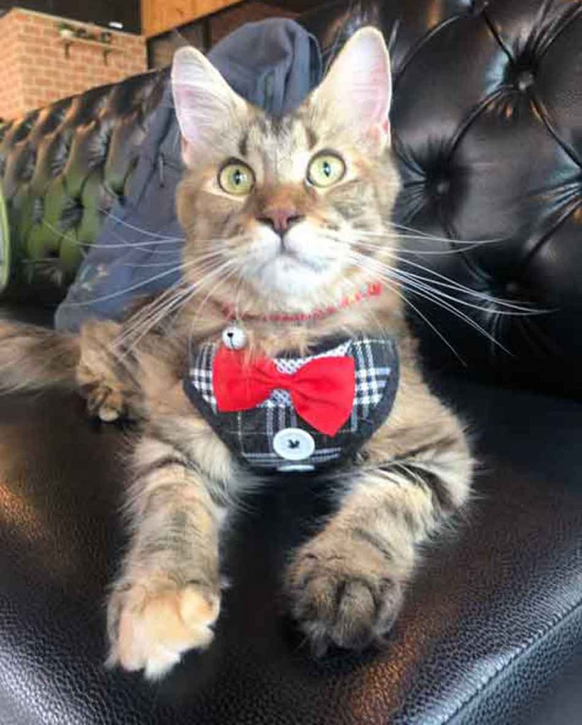Alita the Maine Coon dressed up on couch