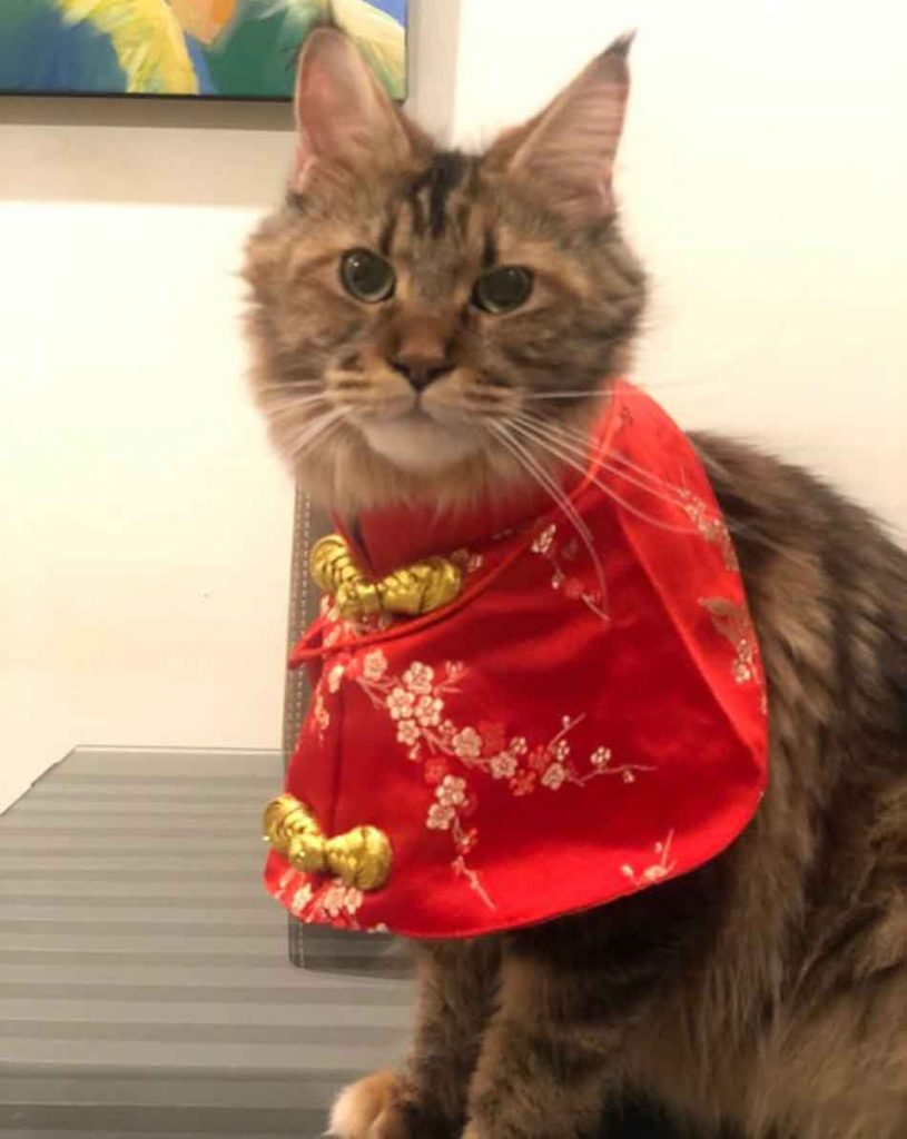 Alita the Maine Coon dressed up and standing