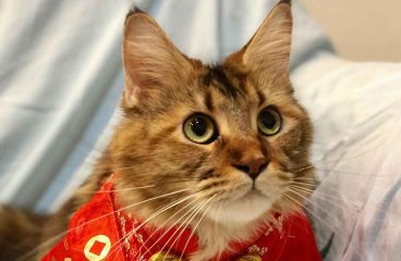 Can You Dress A Maine Coon Cat?