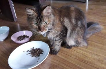 How Long Does a Large Bag of Dry Cat Food Last A Maine Coon?