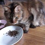 Can A Maine Coon Survive On Only Dry Food?