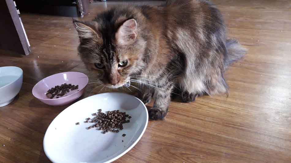 Alita the Maine Coon eating dry food