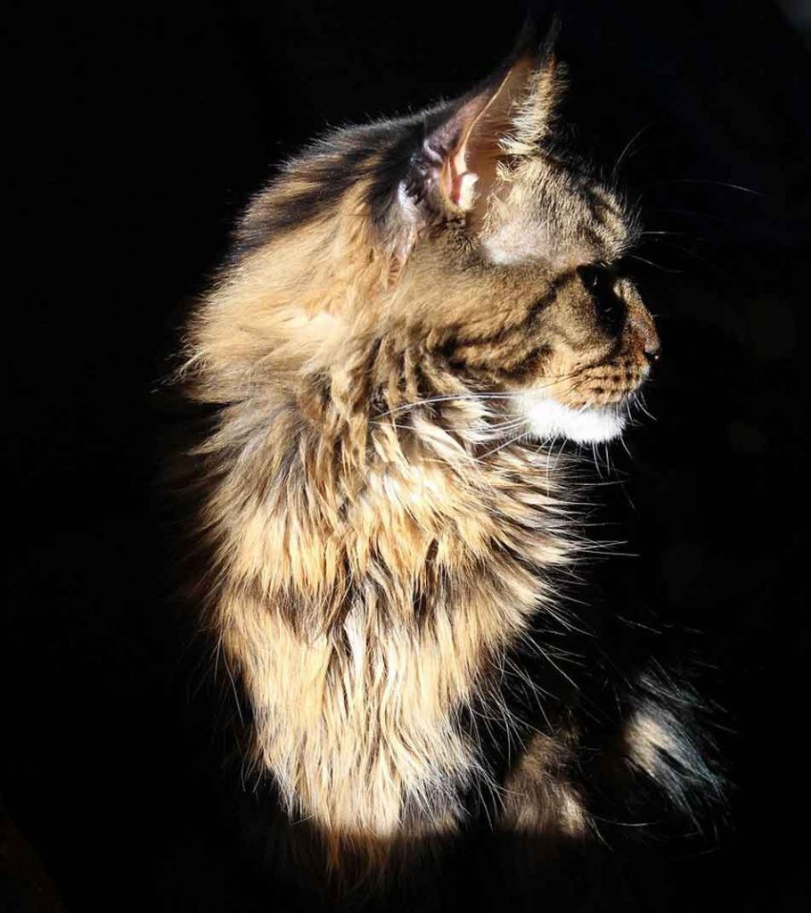 a maine coon against dark backdrop