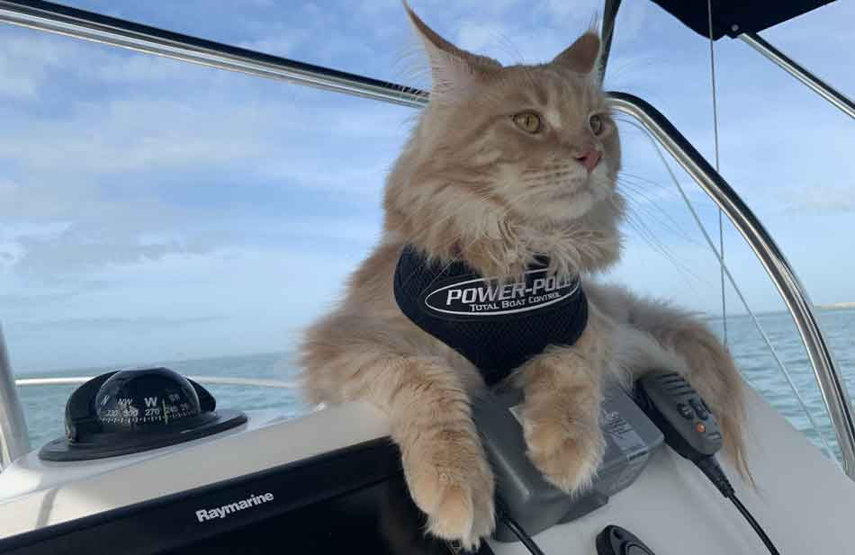 a maine coon at the helm of a boat