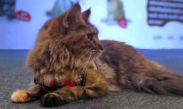 Alita the Maine Coon at a cat show