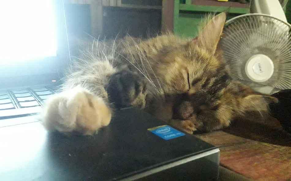 Alita the Maine Coon asleep near laptop