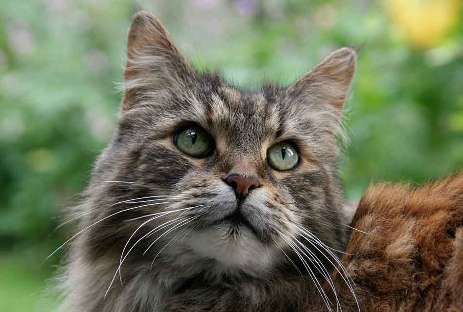 a large maine coon head photo